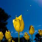 Sunshine Tullip by Yip Huang