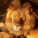 Sunset Lion by margotk