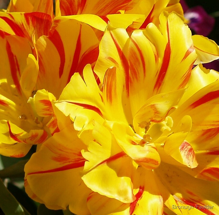 Striped Yellow Tulips by Bronwyn  Faulder