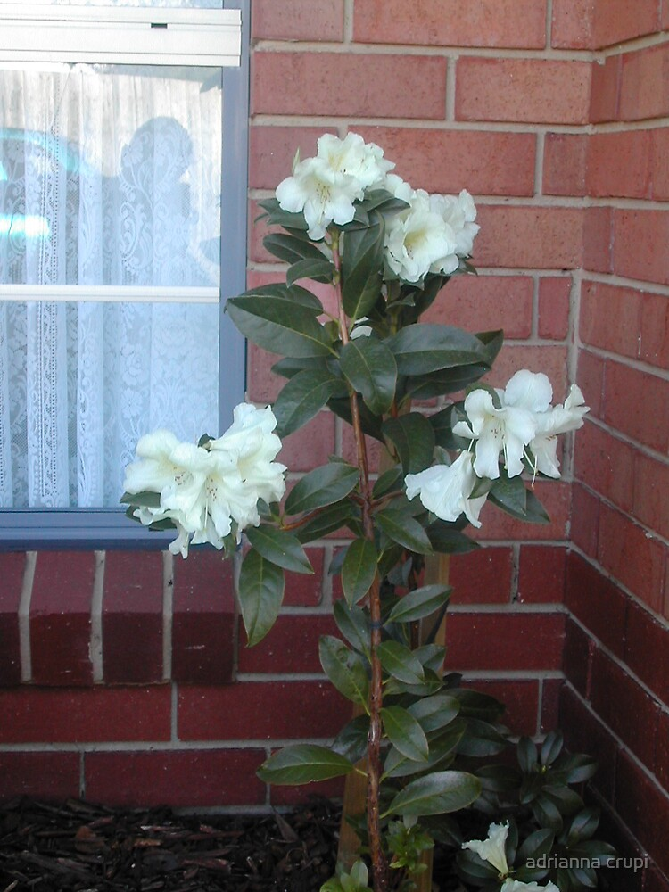 Rhododendron  by adrianna crupi