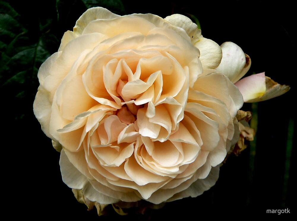 Rose by margotk