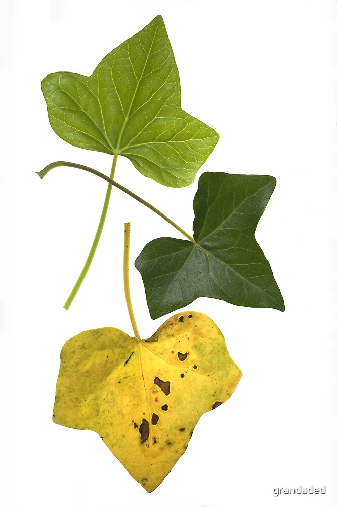 Ivy Leaf Lifecycle by grandaded