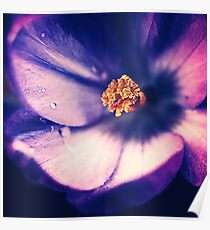 Purple Crocus Showing Off It's Beauty In Macro Poster
