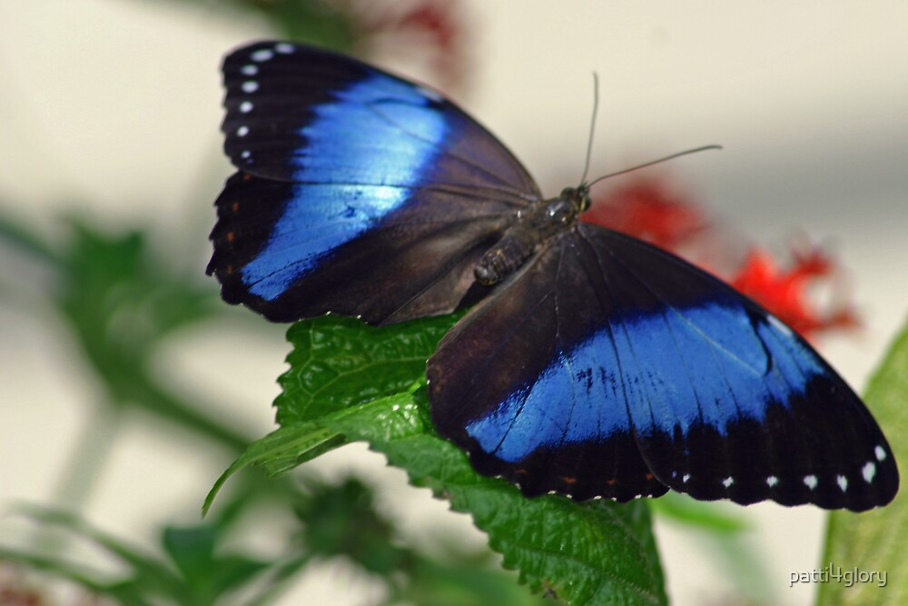 The Blue Morpho Butterfly by patti4glory