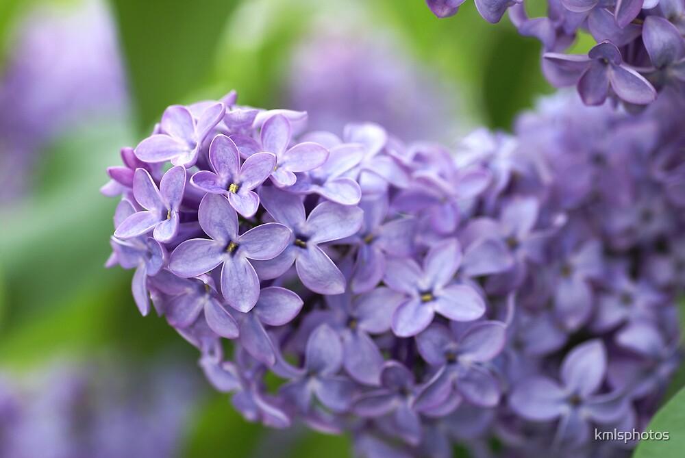 Purple Lilacs by kmlsphotos