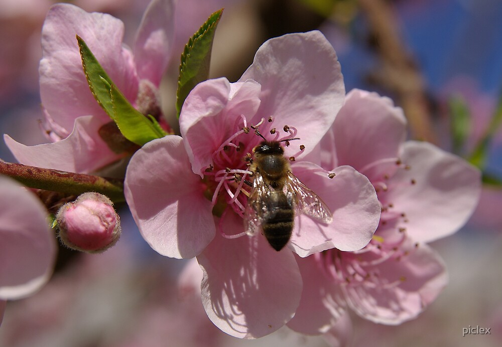 Bee on peach blossom by piclex