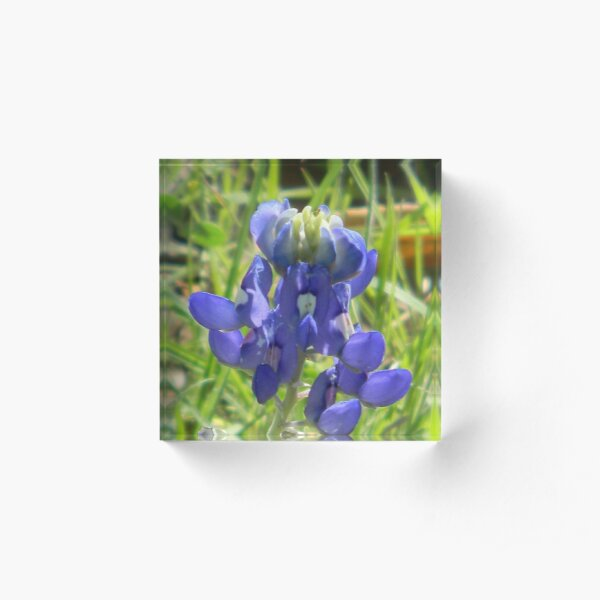 Bluebonnets Cope With The Cold! Acrylic Block