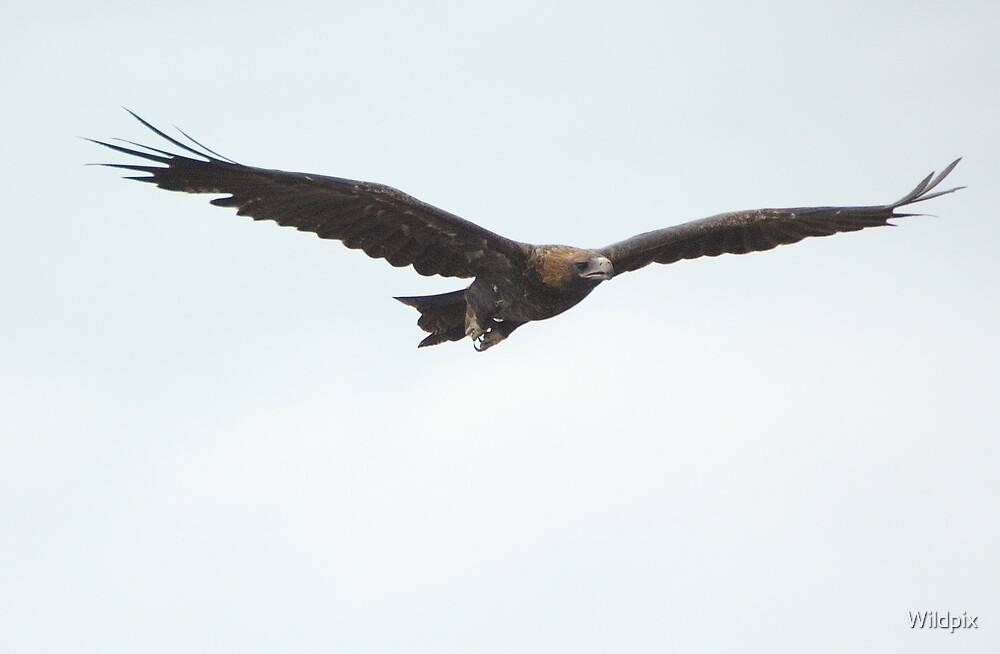 Flight of the Eagle (3) by Wildpix