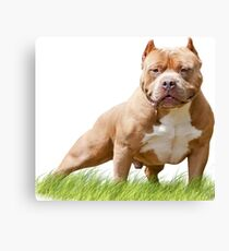 RED BULLY MALE Canvas Print