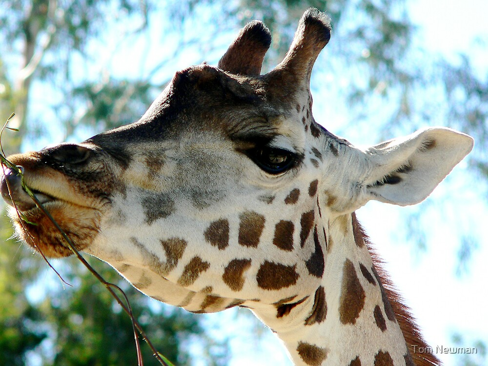 Giraffe at Melbourne ZooII by Tom Newman