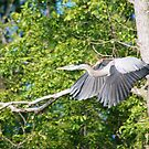 Grey Heron-Bird- Feathers by EsperanzaT