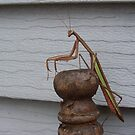 Praying Mantis by froggz007