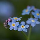 Forget  Me Not by Irina777