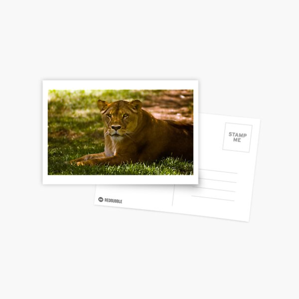 Lazy Lioness Postcard