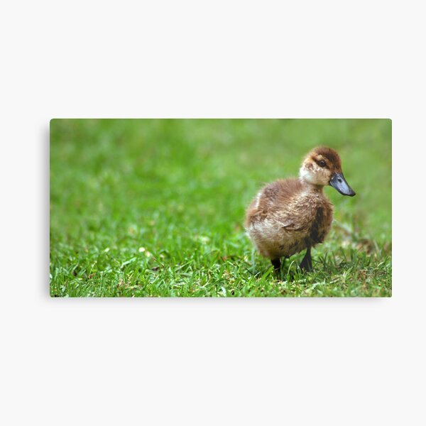 Shy Duckling Metal Print