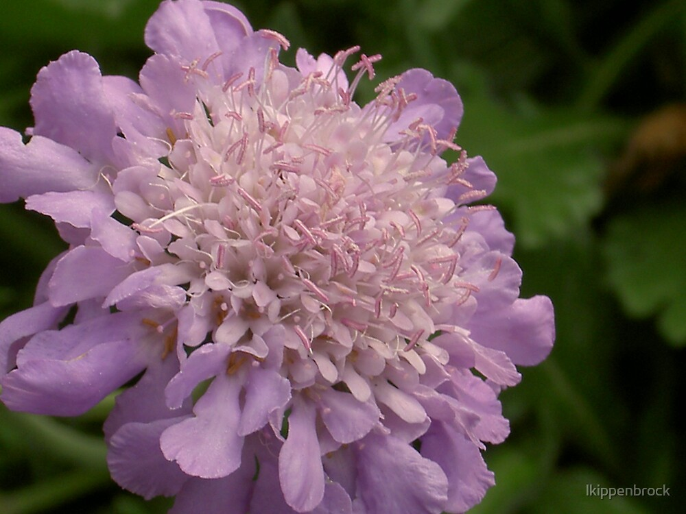 Pincushion Flower by lkippenbrock