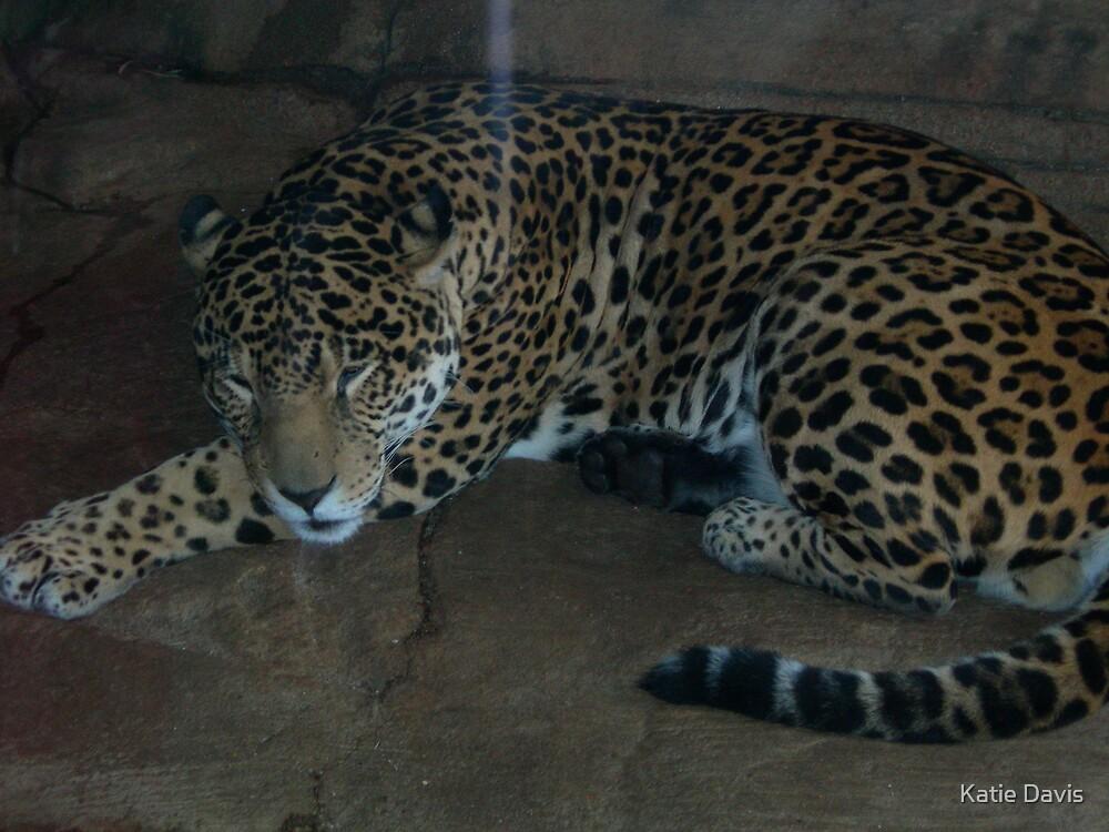 Leopards by Katie Davis