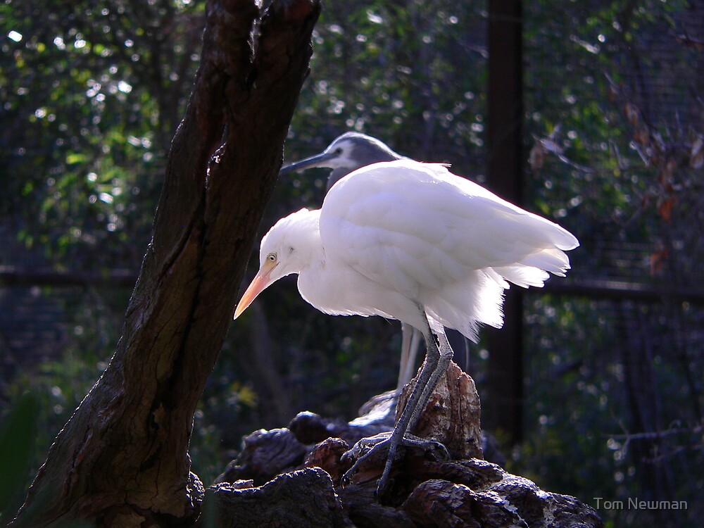 Cattle Egret by Tom Newman