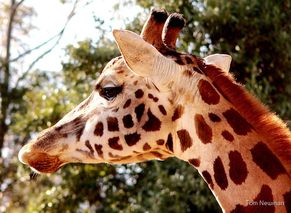 Rothschild's Giraffe  by Tom Newman