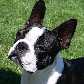 Boston Terrier by RebeccaNewton