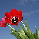 my tulips by SusanC