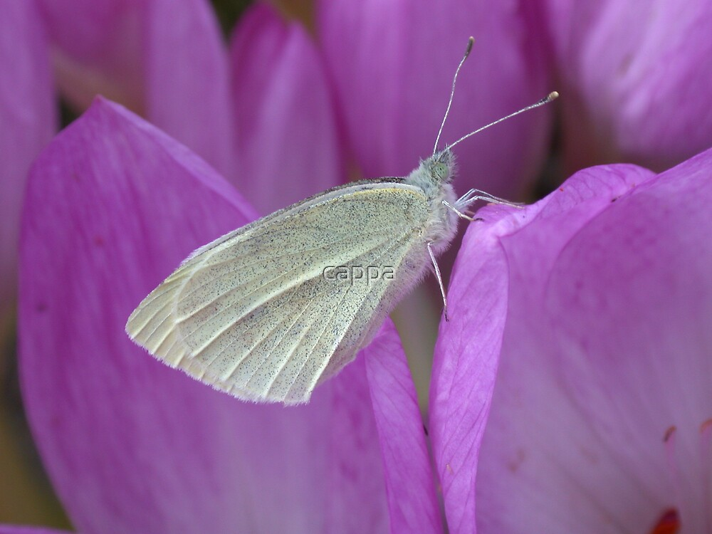 Small White by cappa