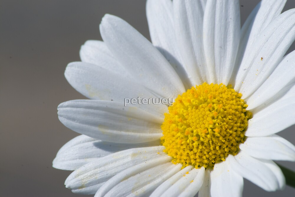 isolated daisy on gray by peterwey