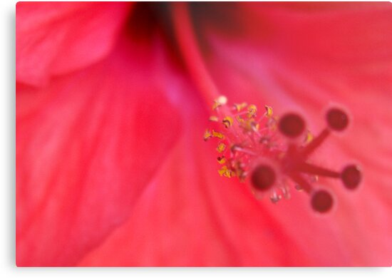 Hibiscus flower by lily1