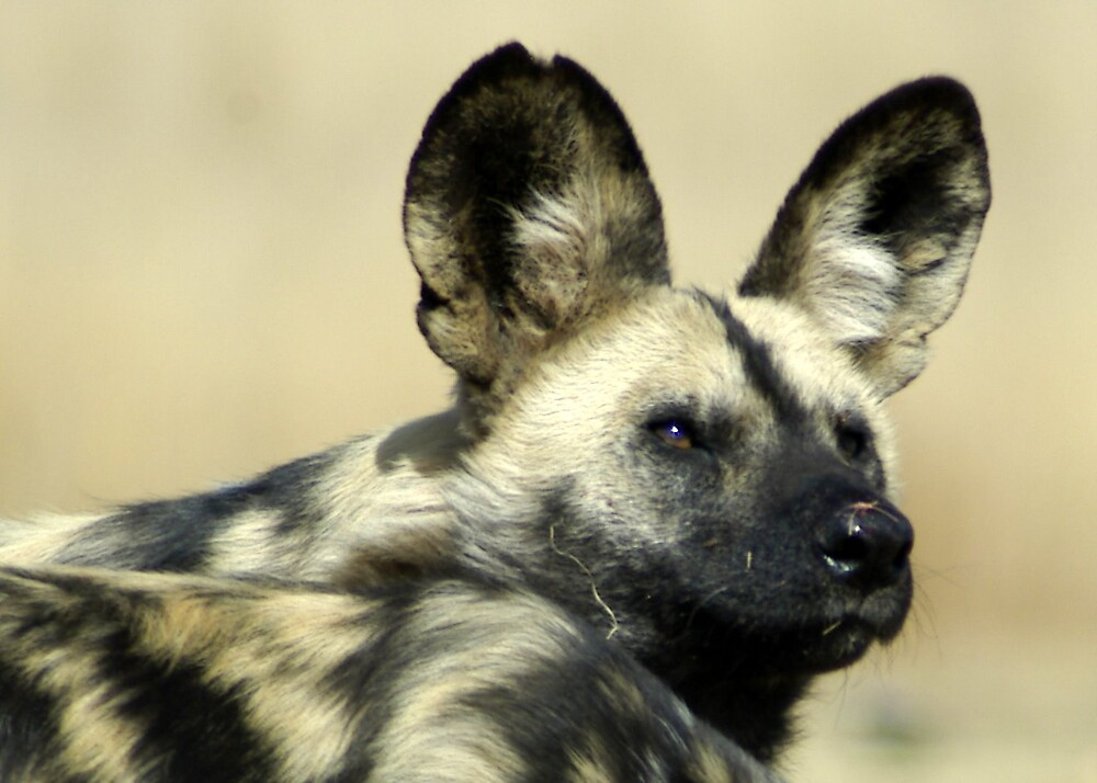 Wild Dog by hall2home