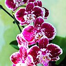 Hot Pink Moth Orchid by Shawna Rowe
