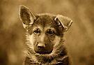 German Shepherd Puppy II by Sandy Keeton