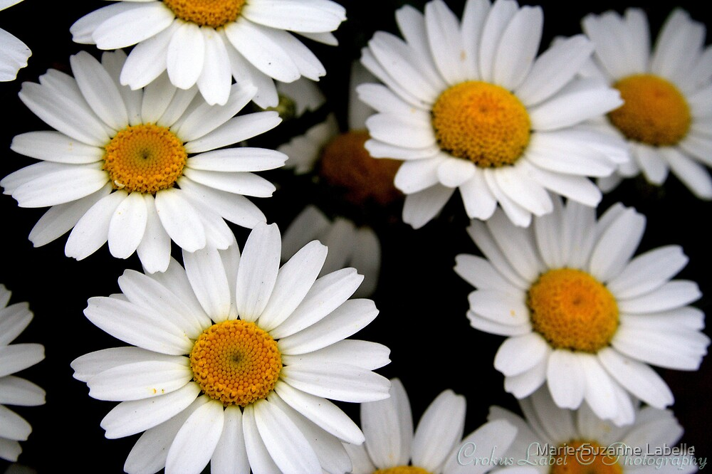 Daisy Days by Marie-Suzanne Labelle