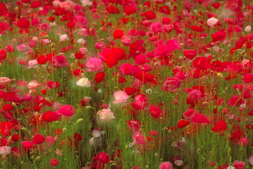Poppies by markophoto