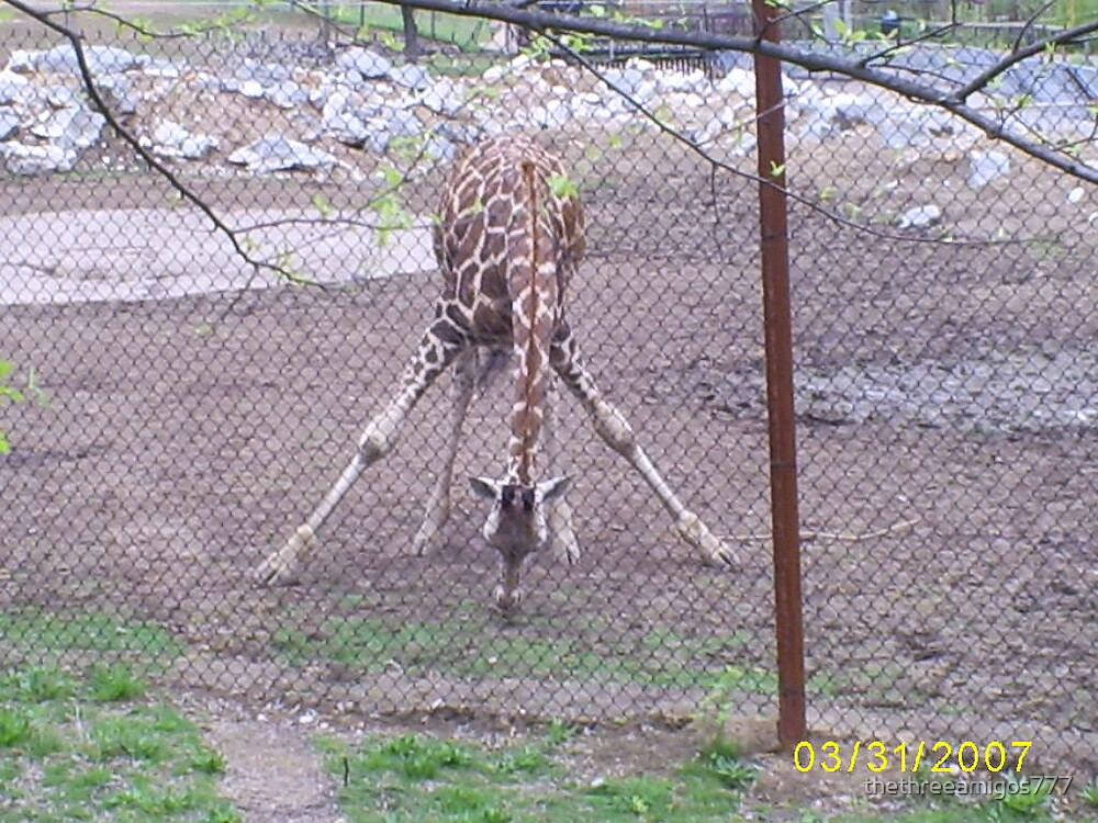 Another giraffe by thethreeamigos777