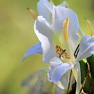 White Lily and the Skipper by Rosalie Scanlon