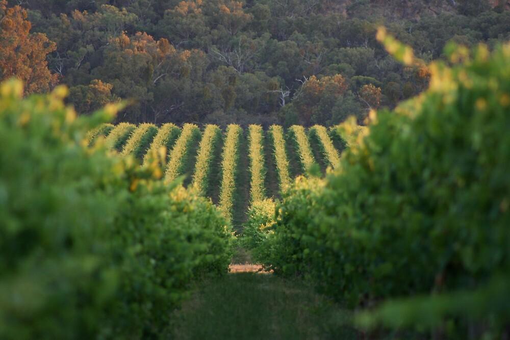 Vineyard by Lindsay Knowles