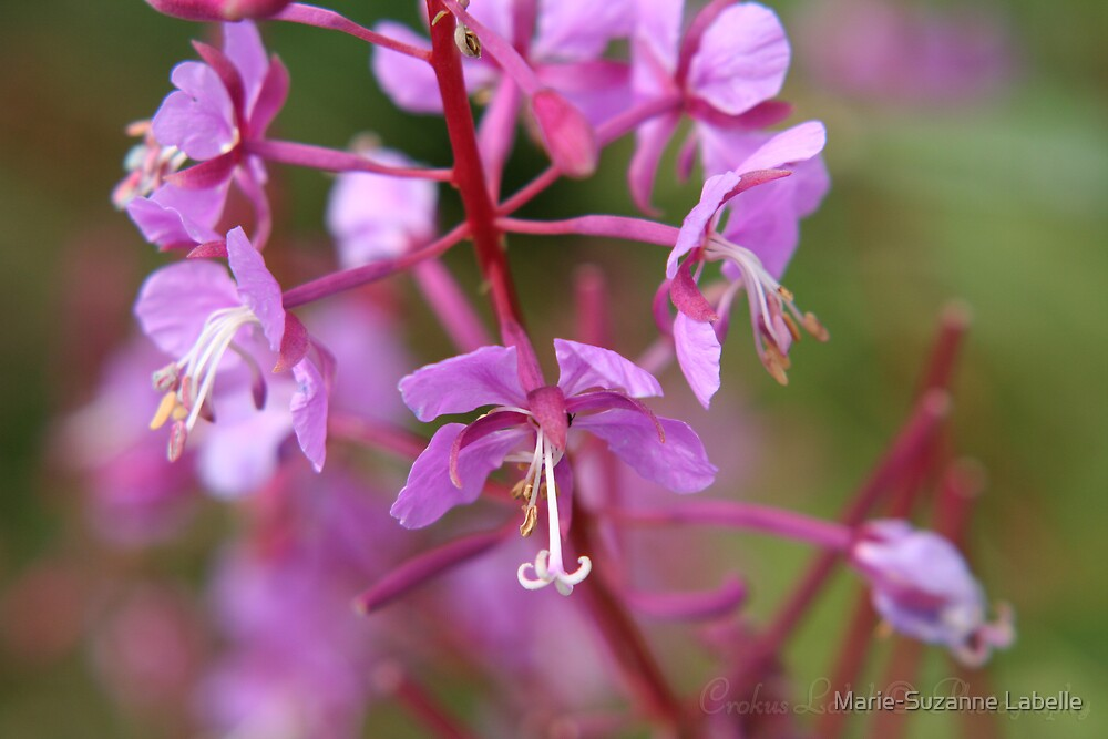 Fireweed by Marie-Suzanne Labelle