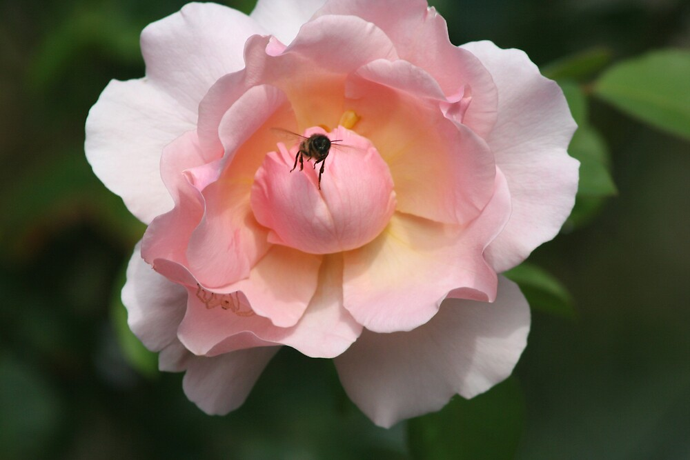 The Rose and Bee by wendels