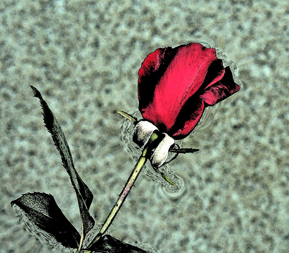 Red Rose by wendels