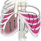 The diaphragm as a rib-lifter by lydiamann