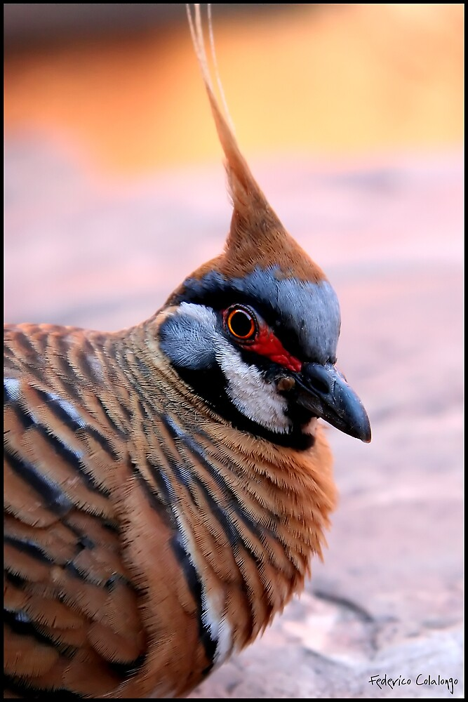 Spinnifex Pigeon by Federico Colalongo