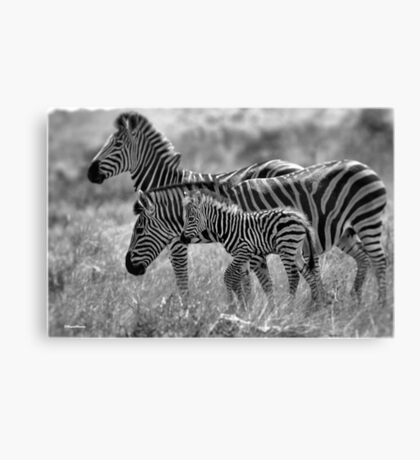 ZEBRA FAMILY IN BLACK & WHITE -  BURCHELL'S ZEBRA – Equus burchelli – Bontkwagga Canvas Print
