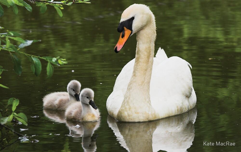 Swan & Cygnets by Kate MacRae