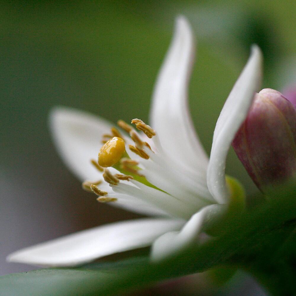 Lemon Blossom by Waferkitty