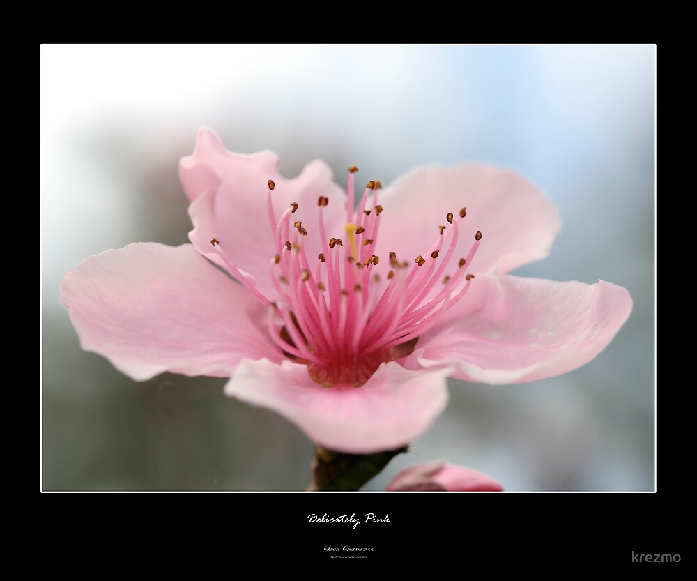 Delicately Pink by krezmo