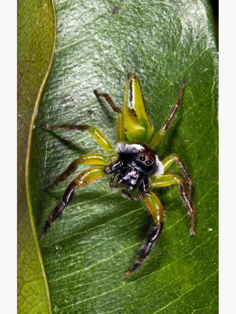 Jumping spider by DavidWachenfeld
