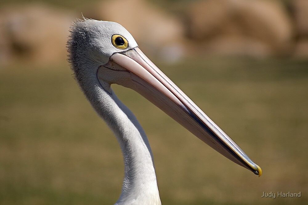 Pelican Portrait by Judy Harland