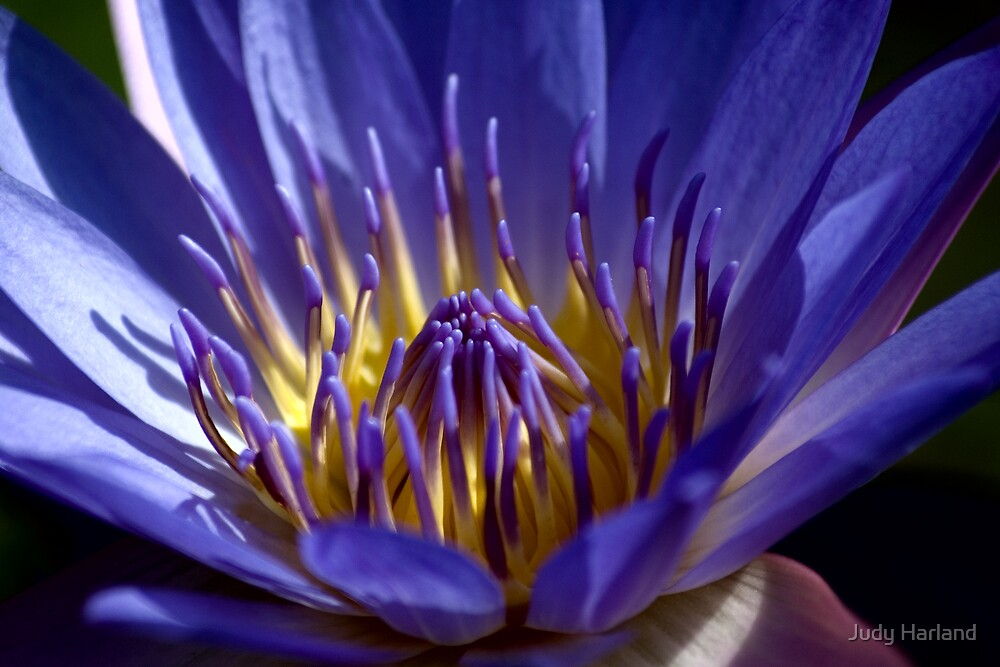 Waterlily by Judy Harland