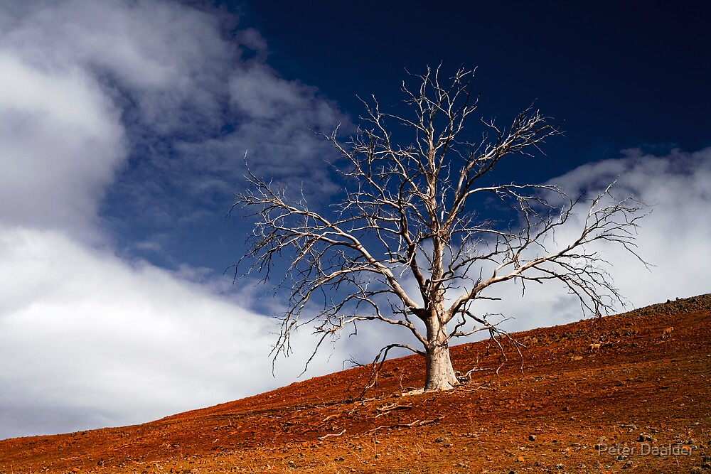 Eucalypt by Peter Daalder