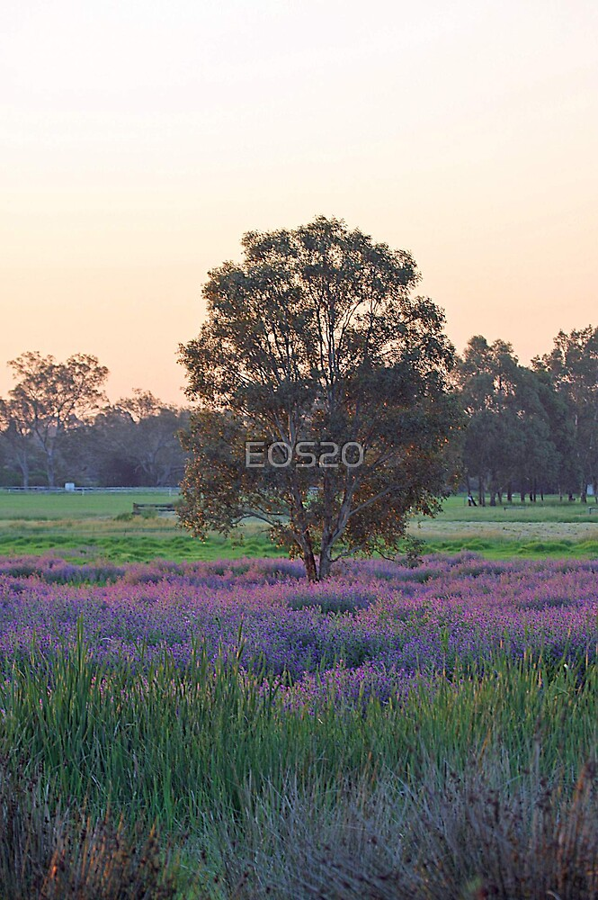 Tree surounded by Pattersons curse purple weed  by EOS20